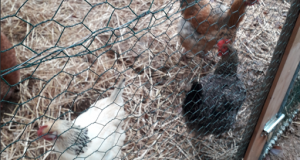 Illustration de poules en volière